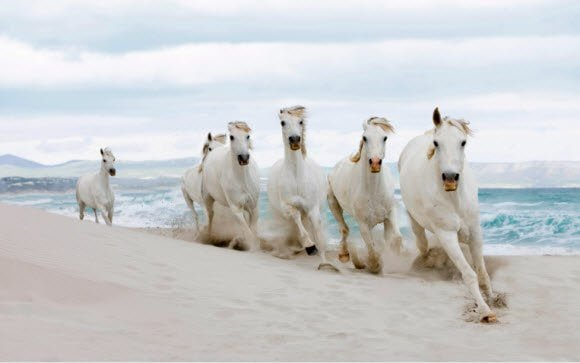 Free Download Windows 7 Horses Theme, white beauties